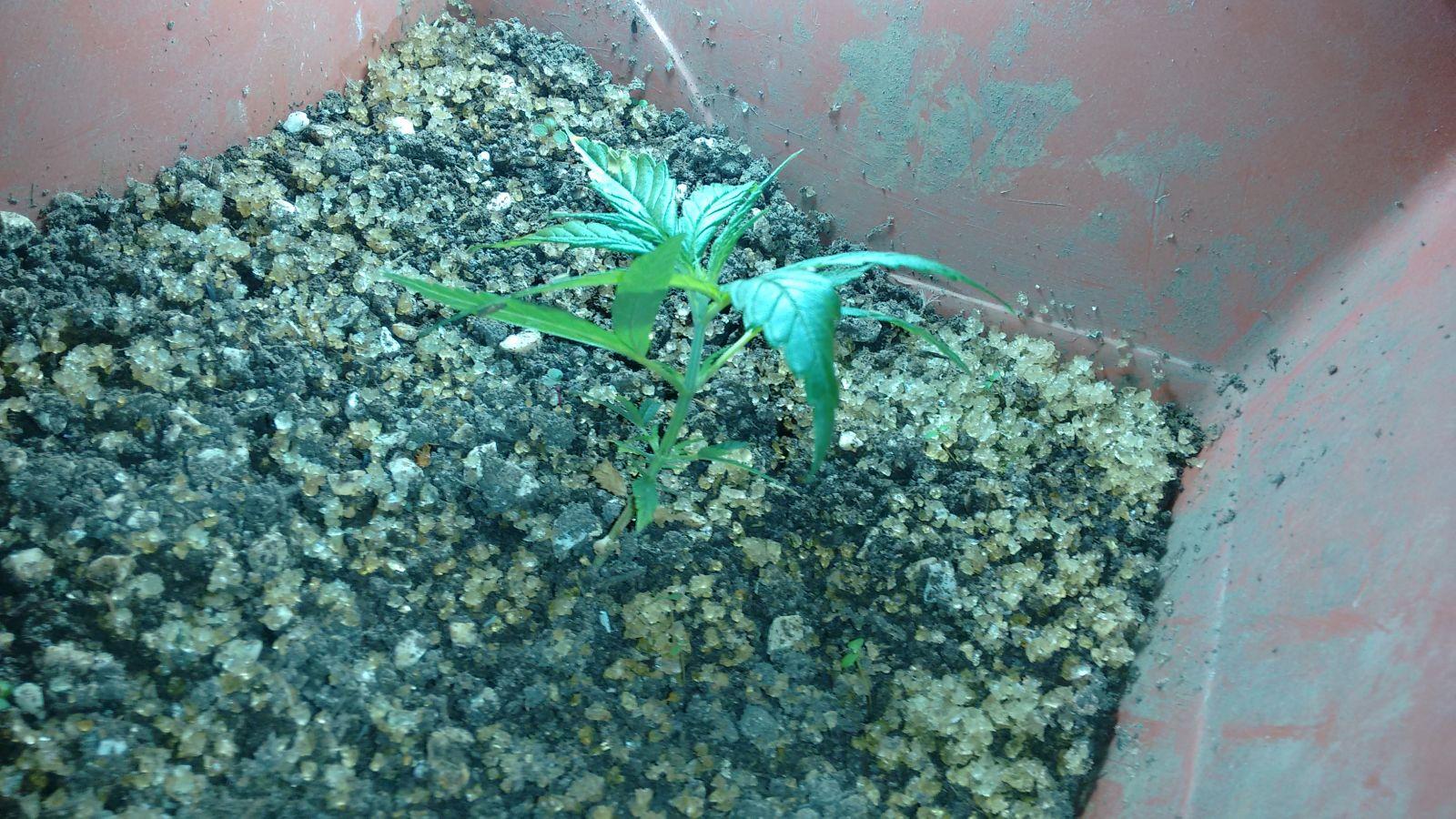 1o Cultivo - Planta Vindo A Óbito - Uso Do Hidrogel