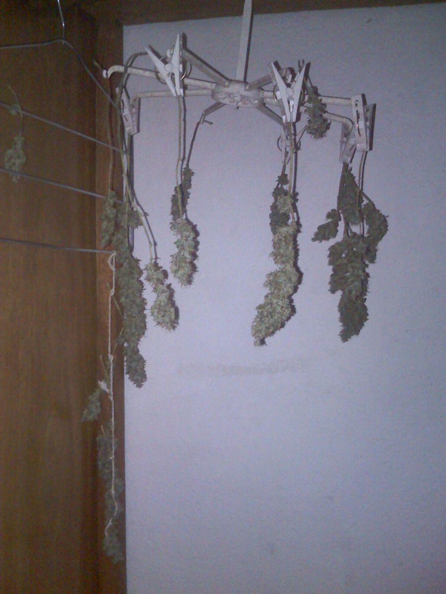 silver haze 14 dias secagem