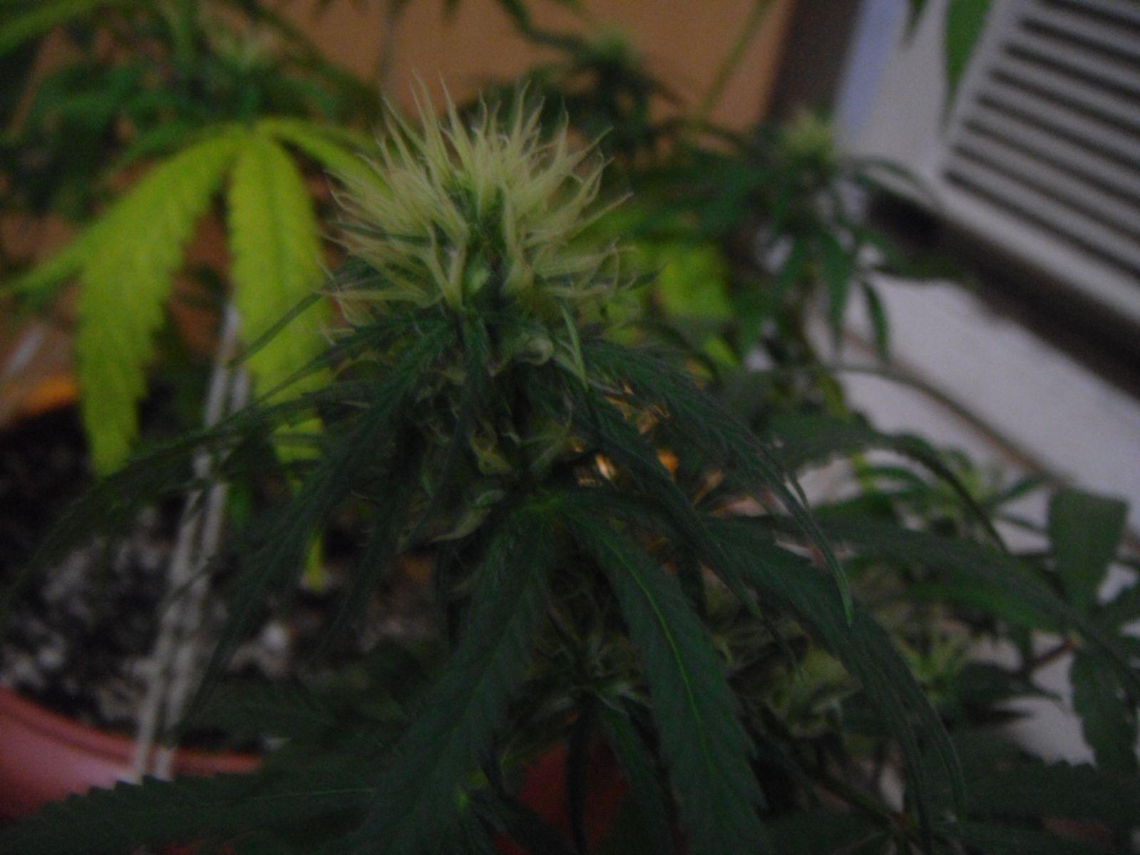 2° cultivo do bolado