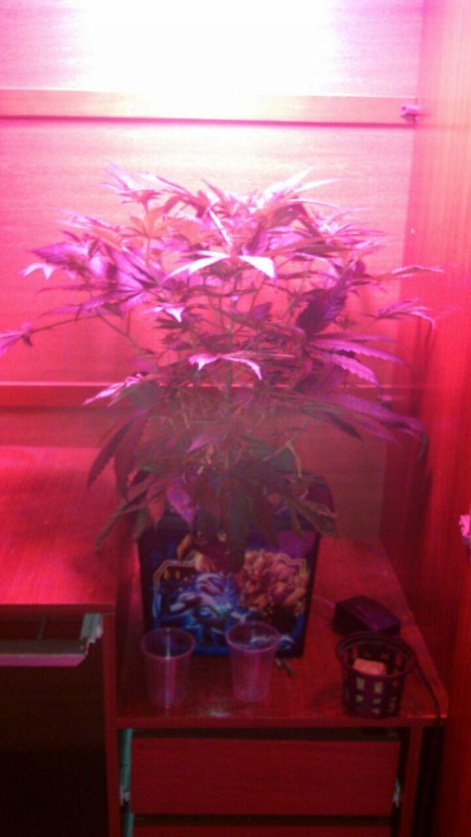Nova Planta Mãe Casey Widow 9ª semana