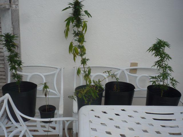 as plantas (incluindo o macho)