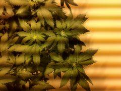 8 dias de floração whidow