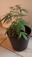 Planta com 35 dias, no aguardo para a flora.
