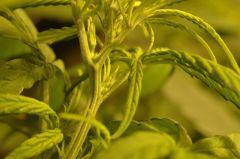 planta 1  Alguem se habilita a dizer se é macho ou fêmea ?
