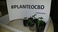 planteocbd2