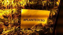 planteocbd1
