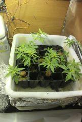 cannabis 1 002