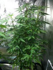 kushadelic planta2