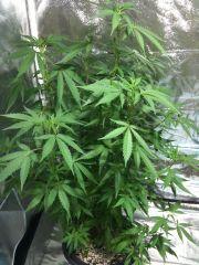 kushadelic planta 1