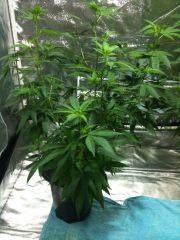 cind99 planta 1