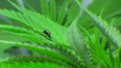 mosca moscando