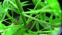 caule grossão da Orquweedia (prensado seeds) - 48 dias
