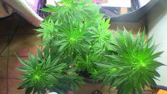 frusciweed (prenseeds) 10 dias de flora