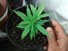 Planta 3 1 dia pos transpl