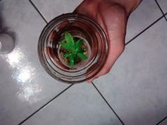Clone planta 1