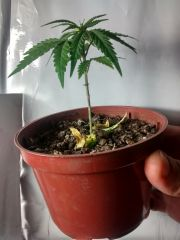 Planta 3 desfolhada