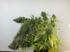 Orient Express standard (sativa compact pheno) about To explode. Grown organically indoors.