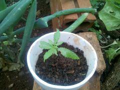cultivo 2013