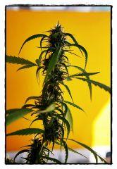Planta adulta2