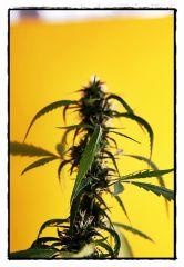 Planta adulta1