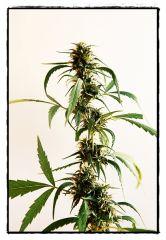 Planta adulta5