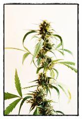 Planta adulta4