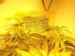 Legalize o Cultivo Caseiro