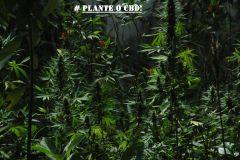 CAMPANHA PLANTE O CBD2