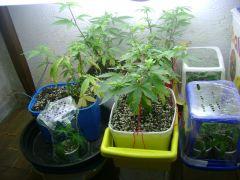 grow do ganjah man