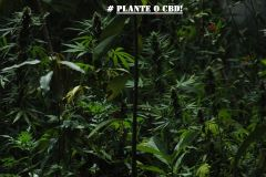 CAMPANHA PLANTE O CBD