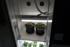 Plant Mae