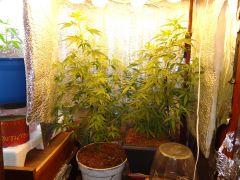 planta 1 e 2 no grow!