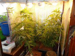 plantas 1,2 e 3 no grow