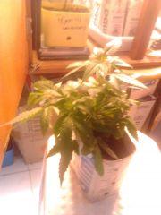 2° Cultivo indoor.