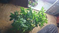 O.G Kush essa é seedlings feminizado, ORIGINAL