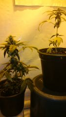 Primeiros clones de O.G Kush florindo