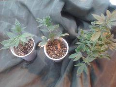 clones prontos para serem transplantados