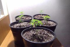 geral grow 2013
