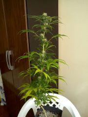 DoubleGum Plantafol P50