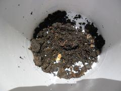Terra com minhocas, ja dentro dos baldes