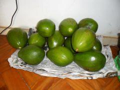 Colheita....do abacate.