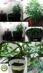 grow 7