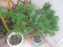 2 lindas plantas que dei a um amigo lindona as duas