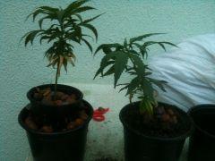 Os clones de Chocolate Diesel, um vai pra flora na terra o outro vai no hidro (easey2grow), teste de produtividade... 09/02/2013