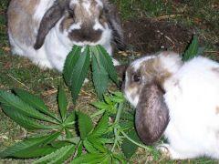 Marijuana Happy Bunnies By marijuana