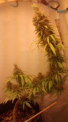 Flora cha verde 11 semanas