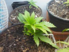 1º Cultivo Indoor do Hipponga [BAIXO CUSTO]