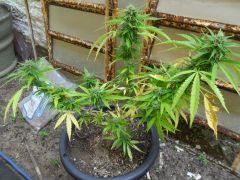 clone com 30 dias de flora