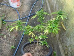 clone critical 30 dias flora