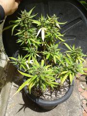 clone no final de flora
